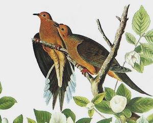 Mourning Dove by John James Audubon