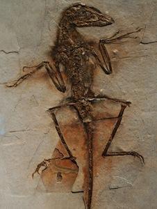 Sinornithosaurus fossil